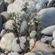 Etienne Aspord - Solanum villosum Mill.