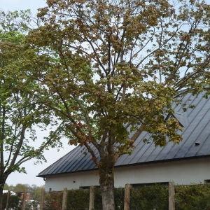 Photographie n°87933 du taxon Acer pseudoplatanus L.