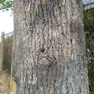 Photographie n°87934 du taxon Acer pseudoplatanus L.