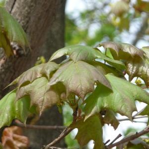 Photographie n°87936 du taxon Acer pseudoplatanus L.