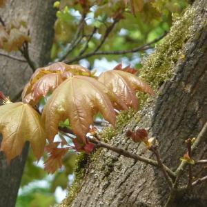 Photographie n°87937 du taxon Acer pseudoplatanus L.