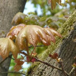 Photographie n°87938 du taxon Acer pseudoplatanus L.