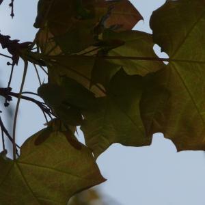 Photographie n°87939 du taxon Acer pseudoplatanus L.