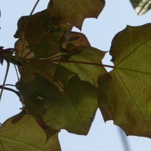 Photographie n°87940 du taxon Acer pseudoplatanus L.