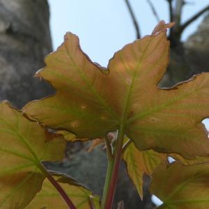 Photographie n°87941 du taxon Acer pseudoplatanus L.