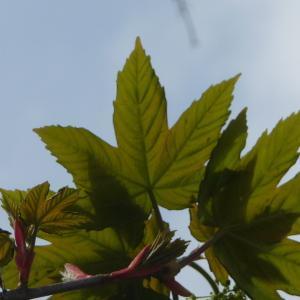Photographie n°87942 du taxon Acer pseudoplatanus L.