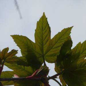 Photographie n°87943 du taxon Acer pseudoplatanus L.