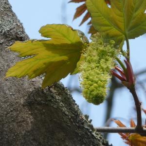 Photographie n°87944 du taxon Acer pseudoplatanus L.