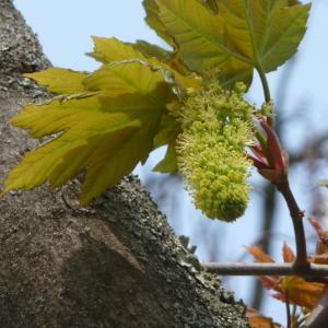 Photographie n°87945 du taxon Acer pseudoplatanus L.