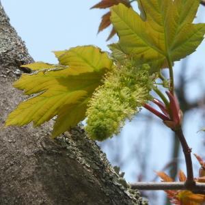 Photographie n°87946 du taxon Acer pseudoplatanus L.