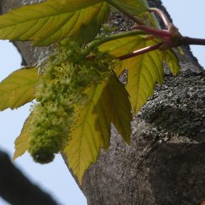 Photographie n°87947 du taxon Acer pseudoplatanus L.