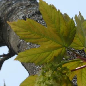 Photographie n°87948 du taxon Acer pseudoplatanus L.