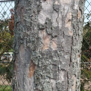 Photographie n°87949 du taxon Acer pseudoplatanus L.
