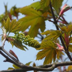 Photographie n°87951 du taxon Acer pseudoplatanus L.