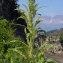 Jean-Louis CHEYPE - Amaranthus hybridus L. [1753]