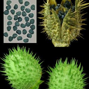 Photographie n°88063 du taxon Datura stramonium L.