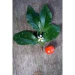 Malpighia punicifolia auct. mult. (Cerise antillaise)