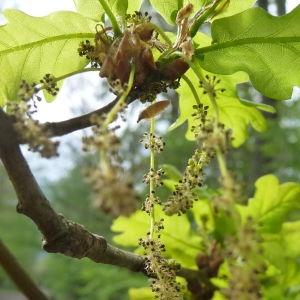 Photographie n°88191 du taxon Quercus robur L. [1753]