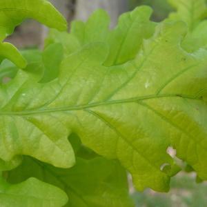Photographie n°88193 du taxon Quercus robur L. [1753]