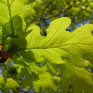 Photographie n°88194 du taxon Quercus robur L. [1753]