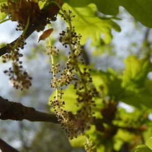 Photographie n°88195 du taxon Quercus robur L. [1753]