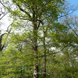 Photographie n°88196 du taxon Quercus robur L. [1753]