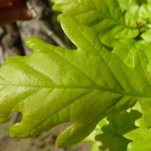Photographie n°88200 du taxon Quercus robur L. [1753]