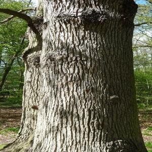 Photographie n°88201 du taxon Quercus robur L. [1753]