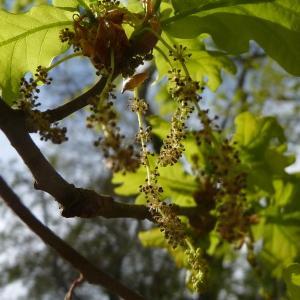 Photographie n°88203 du taxon Quercus robur L. [1753]