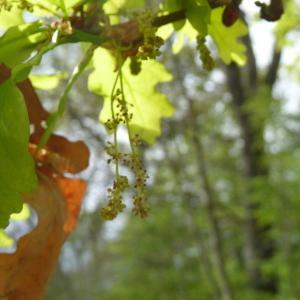 Photographie n°88204 du taxon Quercus robur L. [1753]