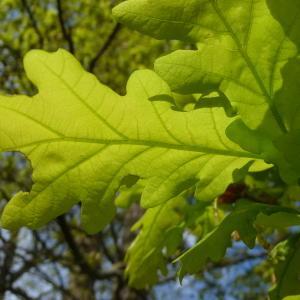 Photographie n°88207 du taxon Quercus robur L. [1753]