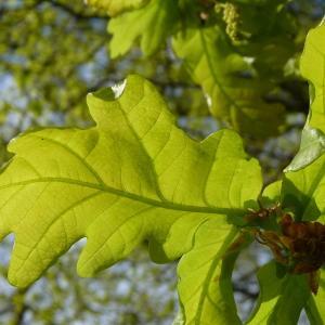 Photographie n°88208 du taxon Quercus robur L. [1753]