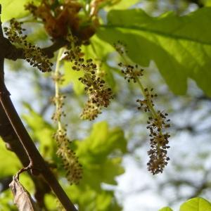 Photographie n°88209 du taxon Quercus robur L. [1753]