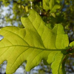 Photographie n°88210 du taxon Quercus robur L. [1753]