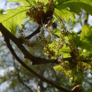 Photographie n°88211 du taxon Quercus robur L. [1753]