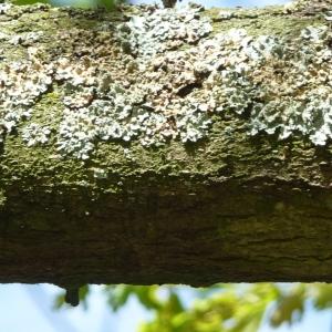 Photographie n°88212 du taxon Quercus robur L. [1753]
