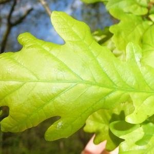 Photographie n°88214 du taxon Quercus robur L. [1753]