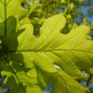 Photographie n°88217 du taxon Quercus robur L. [1753]