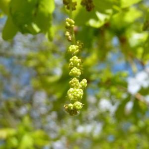 Photographie n°88218 du taxon Quercus robur L. [1753]
