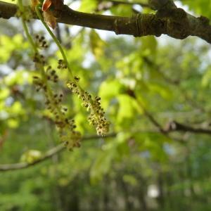 Photographie n°88223 du taxon Quercus robur L. [1753]
