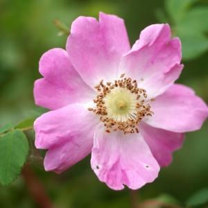Rosa ferruginea Vill. (Églantier à feuilles rougeâtres)