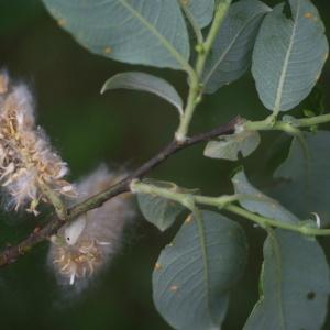 Salix appendiculata Vill. (Saule à grandes feuilles)