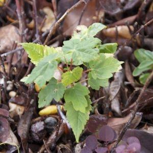 Photographie n°88381 du taxon Acer pseudoplatanus L.