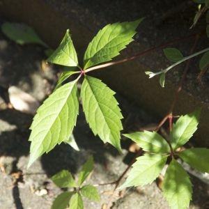 Photographie n°88386 du taxon Parthenocissus quinquefolia (L.) Planch. [1887]