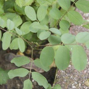 Photographie n°88388 du taxon Robinia pseudoacacia L.