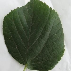 Photographie n°88754 du taxon Tilia platyphyllos Scop. [1771]