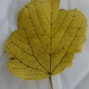 Photographie n°88763 du taxon Tilia platyphyllos Scop. [1771]