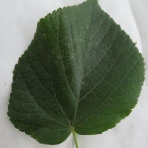 Photographie n°88772 du taxon Tilia platyphyllos Scop. [1771]