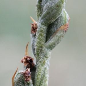 Photographie n°88887 du taxon Spiranthes autumnalis Rich. [1817]