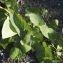 Claire Sutter - Calystegia sepium (L.) R.Br.